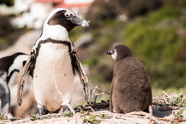 Boulders Beach - a praia dos pinguins em Cape Town. © Imagina na Viagem